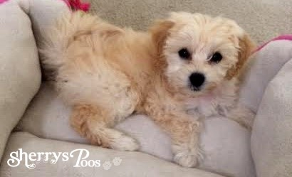 Featured Maltipoo Puppy